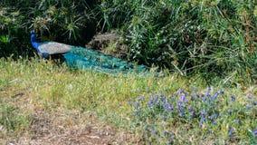 Erwachsener Mannespfau, der weg von Kamera mit den bunten und vibrierenden Federn, klarem blauem Körper und grünen dem Neon gefär lizenzfreies stockfoto