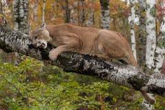 Erwachsener Mannespuma-Puma concolor auf Birkenzweig verwirrt unten lizenzfreie stockfotografie