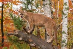 Erwachsener Mannespuma (Puma concolor) lecken heraus auf Stockbild