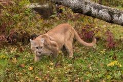 Erwachsener Mannespuma u. x28; Puma concolor& x29; Schaut im Gras recht Stockfoto