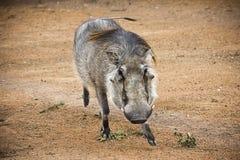 Erwachsener Manneswarzenschwein Stockbild
