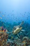 Erwachsener MannHawksbill Schildkröteschwimmen. stockfoto
