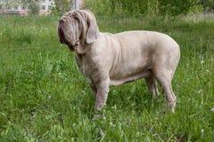 Erwachsener neapolitanischer Mastiff steht auf einer grünen Wiese stockfotos
