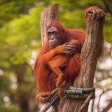 Erwachsener Orang-Utan, der mit Dschungel als Hintergrund sitzt Stockbild