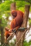 Erwachsener Orang-Utan, der mit Dschungel als Hintergrund sitzt Stockfoto