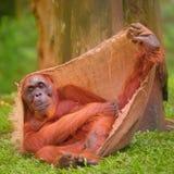 Erwachsener Orang-Utan, der mit Dschungel als Hintergrund sitzt Lizenzfreie Stockfotografie