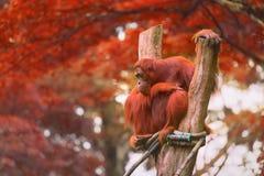 Erwachsener Orang-Utan, der mit Dschungel als Hintergrund sitzt Lizenzfreies Stockbild