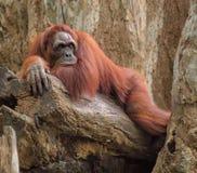 Erwachsener Orang-Utan, der tief in den Gedanken liegt Stockfotos