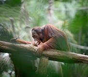 Erwachsener Orang-Utan, der tief in den Gedanken sitzt Lizenzfreie Stockbilder