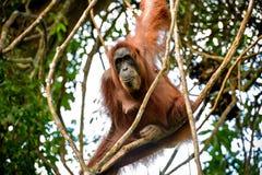 Erwachsener Orang-Utan Pongo, der auf dem Baum Sumatra, Indonesien sitzt Lizenzfreies Stockfoto