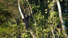 Erwachsener Pileated-Gibbon stock footage