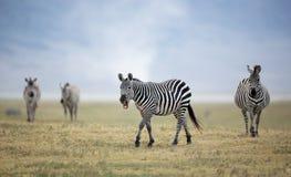 Erwachsener Plains Zebra im Ngorongoro-Krater, Tansania Stockfotografie
