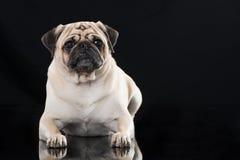 Erwachsener Pug, der auf schwarzem Hintergrund liegt lizenzfreies stockfoto