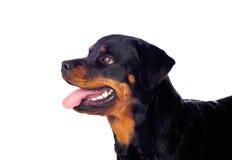 Erwachsener Rottweiler-Hund lizenzfreie stockbilder