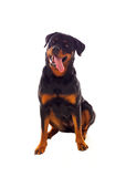 Erwachsener Rottweiler-Hund stockfotos