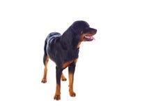 Erwachsener Rottweiler-Hund lizenzfreie stockfotos