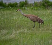 Erwachsener Sandhill Crane Walking Away von der Kamera lizenzfreie stockbilder