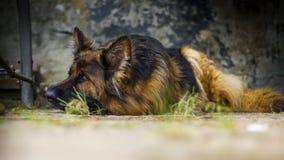 Erwachsener Schäferhund in einem Porträtfoto Ein großer Hund liegt friedlich auf einem Betonwürfel Kleine Schärfentiefe stockfoto