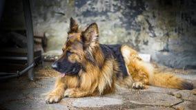 Erwachsener Schäferhund in einem Porträtfoto Ein großer Hund liegt friedlich auf einem Betonwürfel Kleine Schärfentiefe lizenzfreies stockfoto