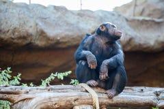 Erwachsener Schimpanse, der auf Baumstamm, Zoo Loro Parque, Teneriffa, Spanien sitzt Stockbild