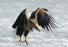 Erwachsener Seeadler gelandet stockfoto