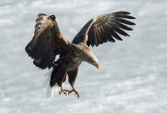 Erwachsener Seeadler wird gelandet stockfotografie