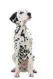 Erwachsener sitzender dalmatinischer Hund, der oben schaut lizenzfreie stockbilder