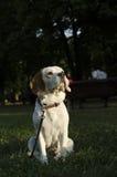 Erwachsener Spürhund in einem Stadtpark Lizenzfreie Stockfotografie
