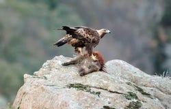 Erwachsener Steinadler mit einem Eber auf einem Felsen Stockfoto