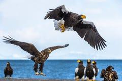 Erwachsener Steller-` s Seeadler gelandet Wissenschaftlicher Name: Haliaeetus pelagicus Hintergrund des blauen Himmels und des Oz stockbild