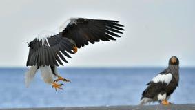 Erwachsener Steller-` s Seeadler landete und Verbreitung des Flügels Wissenschaftlicher Name: Haliaeetus pelagicus Lizenzfreie Stockbilder