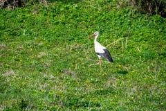Erwachsener Storch auf dem Rasen auf der Suche nach Nahrung lizenzfreie stockbilder