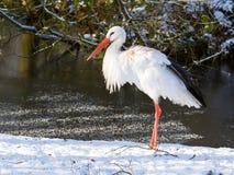 Erwachsener Storch, der im Schnee steht Lizenzfreies Stockbild
