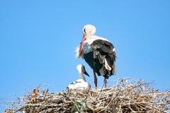 Erwachsener Storch mit dem Baby auf dem Nest stockbild
