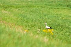 Erwachsener Storch in seinem natürlichen Lebensraum Weißer Storch, der auf Wiese geht stockbilder