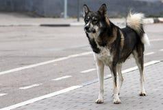 Erwachsener streunender Hund, der auf dem Straßenrand steht stockfotografie