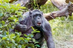 Erwachsener Tierschimpanse, der heraus von hinten Büsche späht Stockbilder