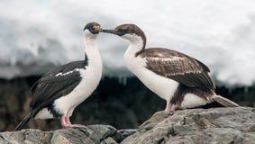 Erwachsener und jugendliche antarktische Noppen, antarktische Halbinsel lizenzfreie stockfotografie