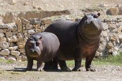 Erwachsener und junger Hippopotamus stockbild