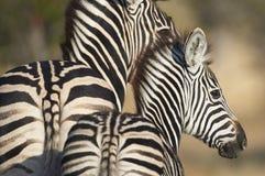 Erwachsener und junger Zebra Lizenzfreie Stockbilder
