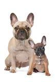 Erwachsener und Welpe der französischen Bulldogge Lizenzfreies Stockbild