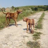 Erwachsener Vizsla Hund mit einem Welpen lizenzfreie stockbilder