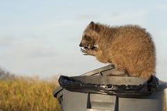 Erwachsener Waschbär, der sich hinsitzen und eatting Nahrung Stockfoto