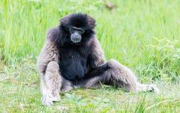 Erwachsener weißer übergebener Gibbon Lizenzfreies Stockbild