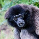 Erwachsener weißer übergebener Gibbon Stockbilder