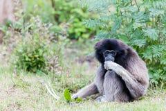 Erwachsener weißer übergebener Gibbon Lizenzfreie Stockfotos