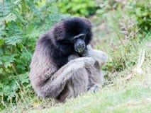 Erwachsener weißer übergebener Gibbon Lizenzfreies Stockfoto
