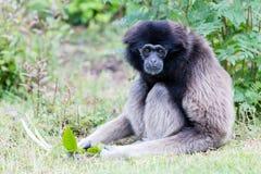Erwachsener weißer übergebener Gibbon Stockfoto