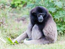 Erwachsener weißer übergebener Gibbon Lizenzfreie Stockbilder