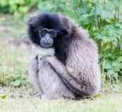 Erwachsener weißer übergebener Gibbon Stockfotografie